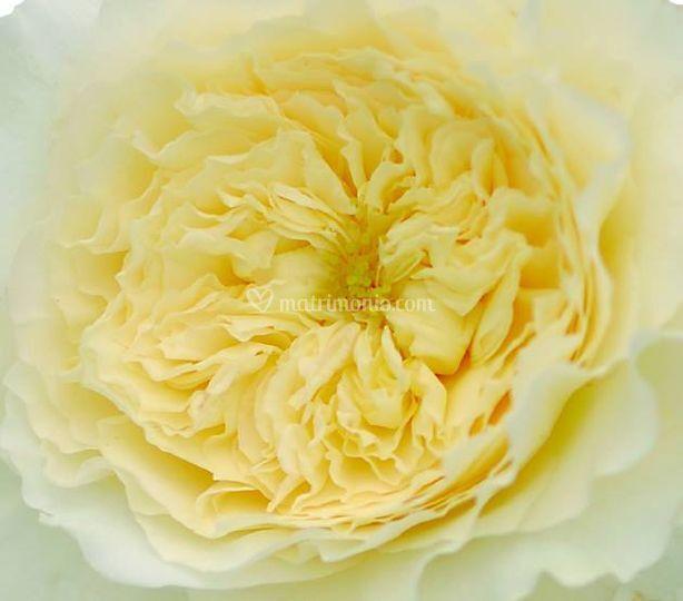 Rosa inglese di boutique del fiore di nico e mary foto 6 for Rosa inglese