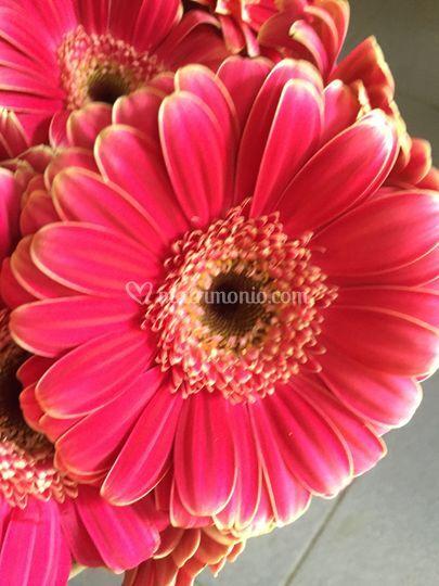 Margheritone rosa
