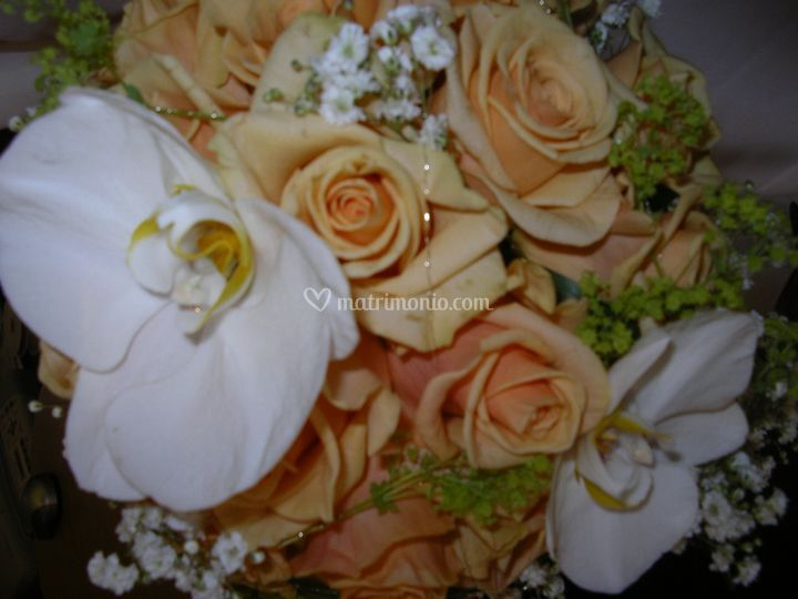Rose phaleno