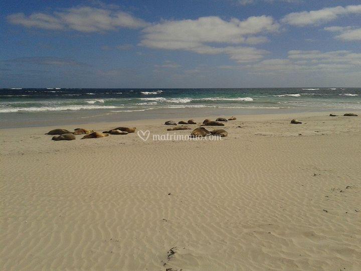 Le otarie sulla spiaggia