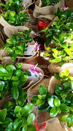 Bomboniere bonsai
