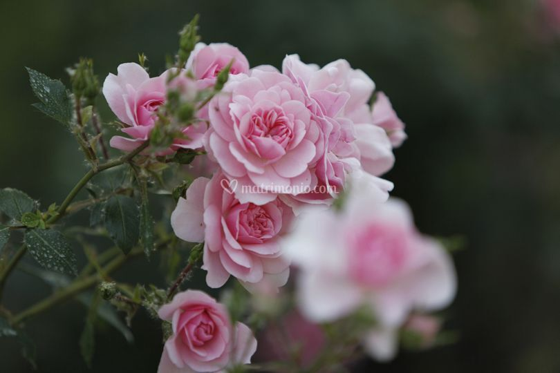 The Bonica Roses
