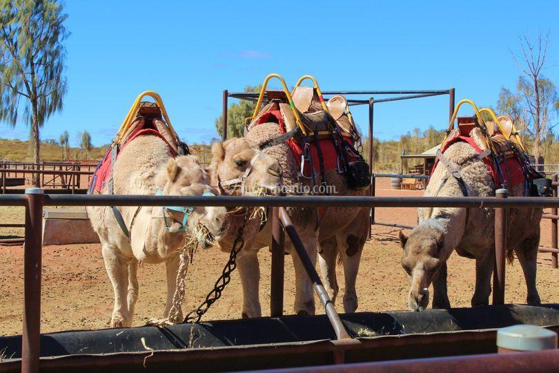 Cammelli australiani