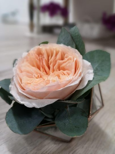 Rosa inglese portafedi