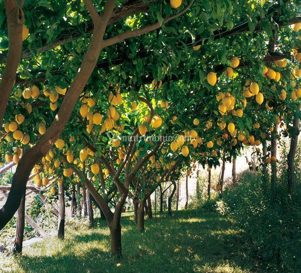Il parco con gli alberi di limone