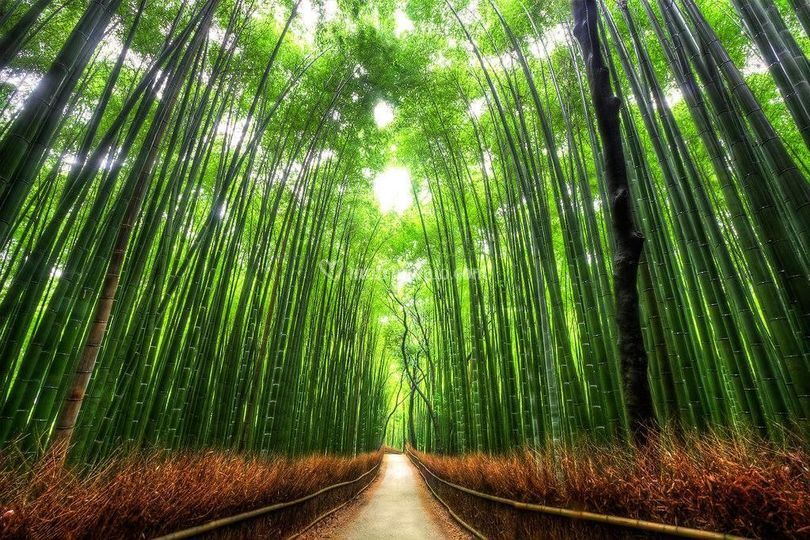 Giappone: Foresta di Bambù
