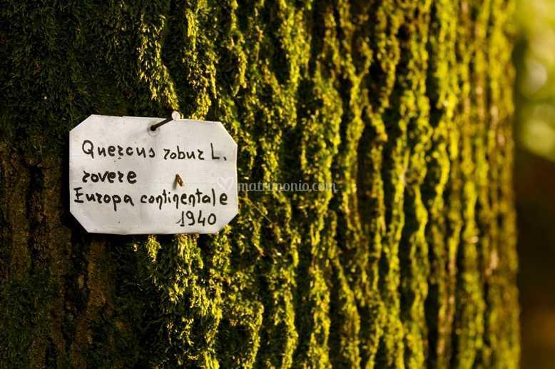Quercus robur 1940