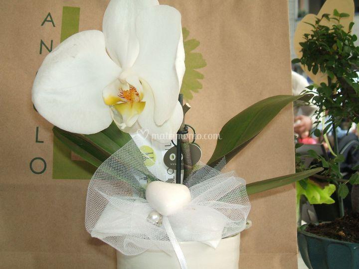 Mini Orchidea dettaglio
