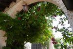 Fioritura arco cortile di Villa C� Bianca