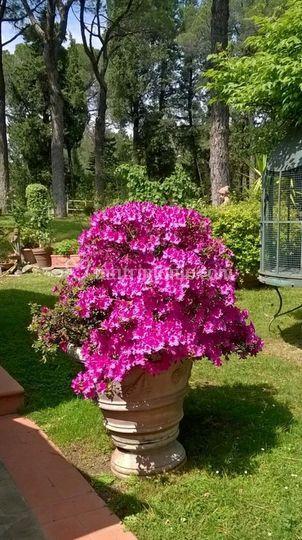 La fioritura delle azalee 6