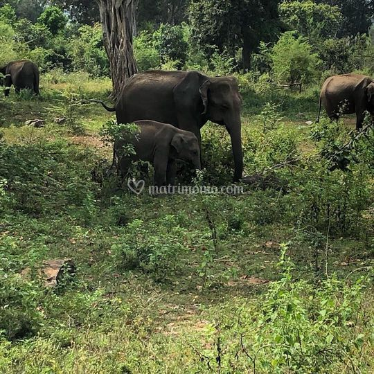 Elefanti in srilanka