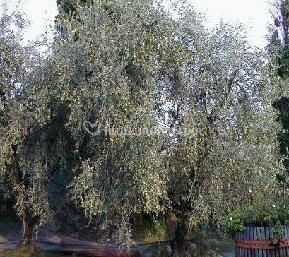 Gli alberi