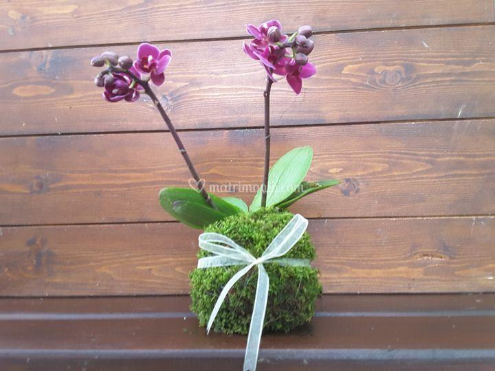 Bomboniera Kokedama Orchidea