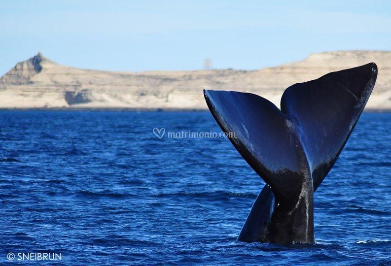 Baja California, balena