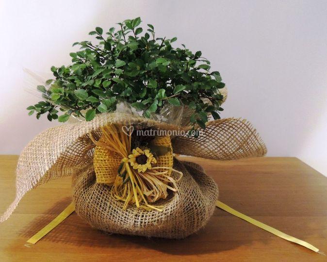 Bomboniera bonsai juta