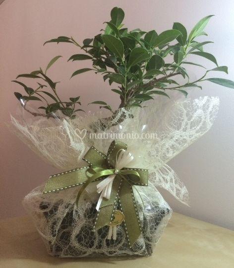 Bomboniera bonsai ficus