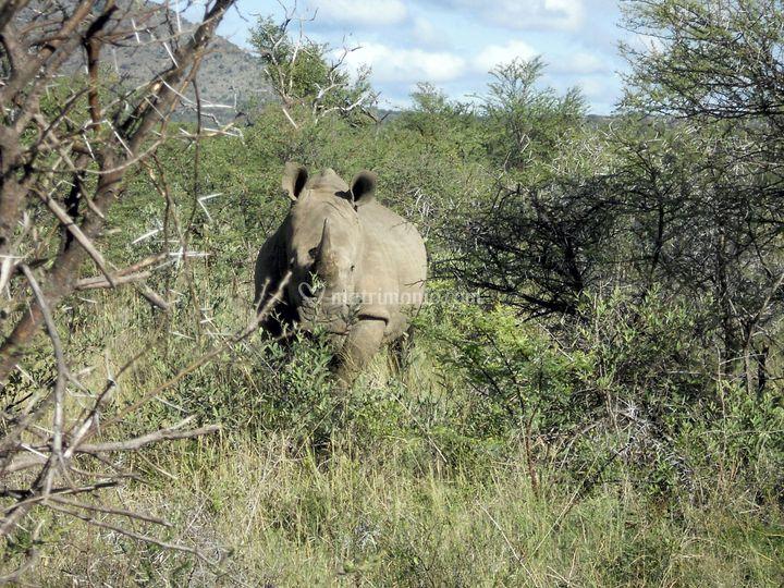 Madikwe Game Res., Sud Africa