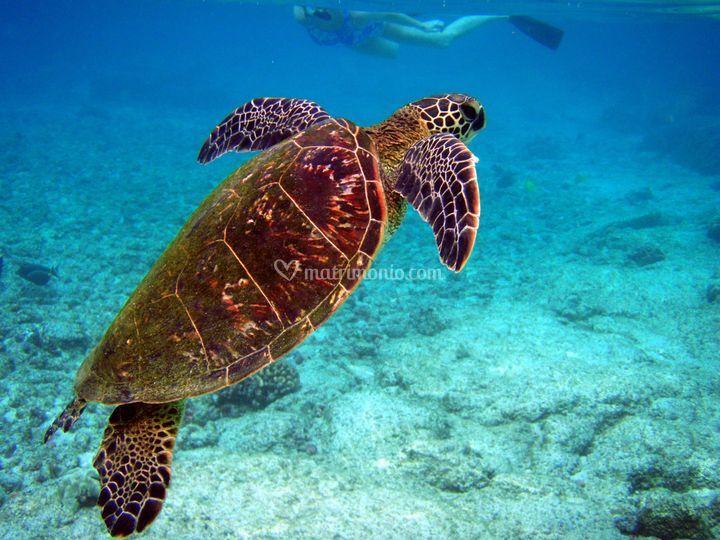 Fiji - tartaruga