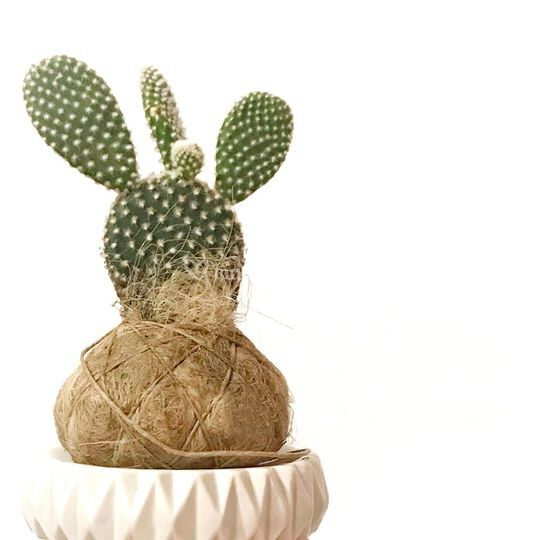 Fatkokedama cactus