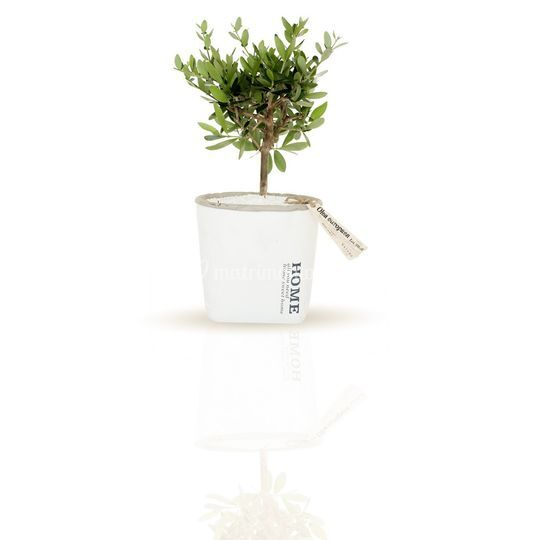 Linea bonsai ulivo