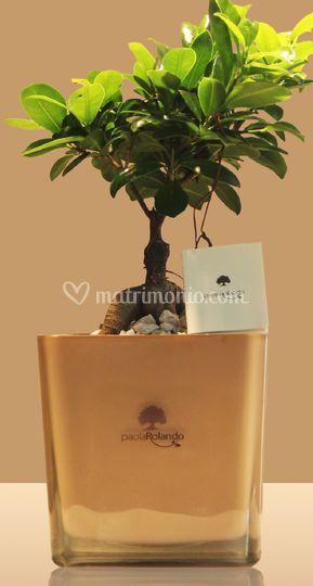 Bomboniera bonsai ginseng