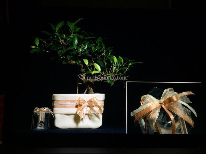 Ficus retusa -  Cipria