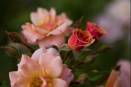 La cerimonia della rosa: alcune curiosità su questo romantico rituale!