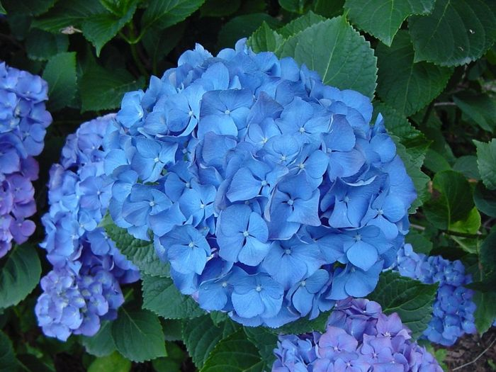 Fiori blu a settembre quali organizzazione matrimonio - Ortensia blu ...