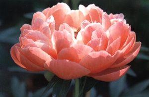 Color corallo e i fiori organizzazione for Peonie periodo