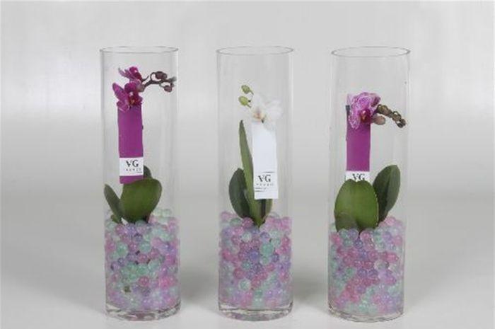 orchidee mignon