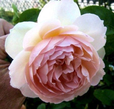 Le peonie a maggio ricevimento di nozze forum for Rosa inglese