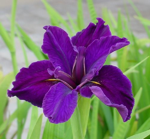 irisfiore