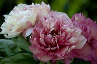 Matrimonio color rosa panna fucsia organizzazione for Peonie periodo