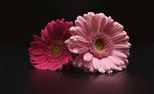 gerbera come Bouquet? - 1