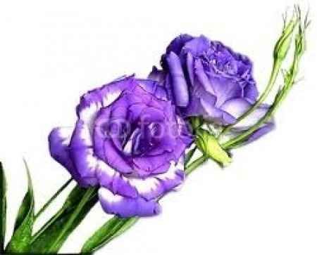 lisianthus viola