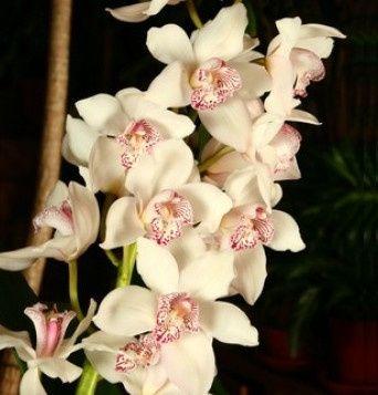 Orchidea cymbidium foto ricevimento di nozze - Orchidea da esterno cymbidium ...
