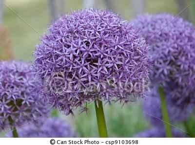 fiori a palla viola