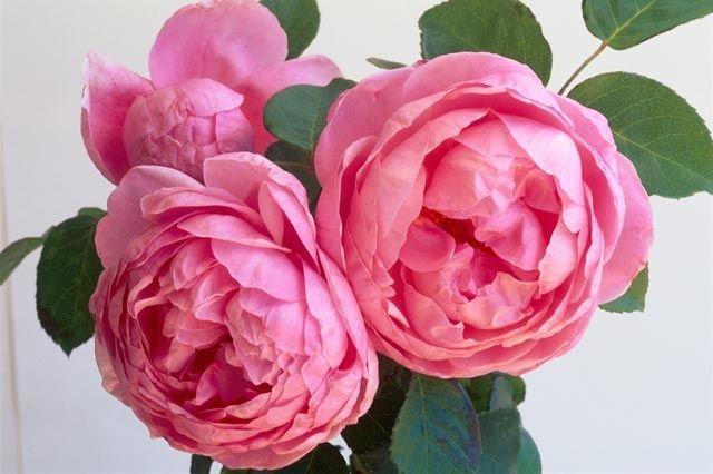 Rose antiche david austin rose organizzazione for Rosa inglese
