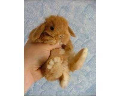 Coniglio nano ariete vivere insieme forum - Lettiera coniglio nano ...