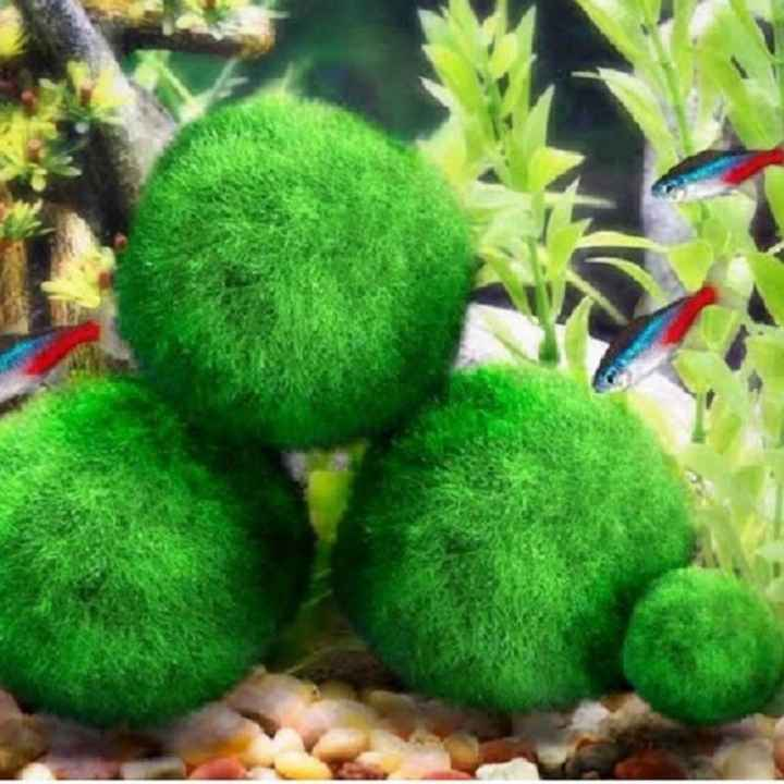 Bomboniere alternative: Marimo!!!!! - 1