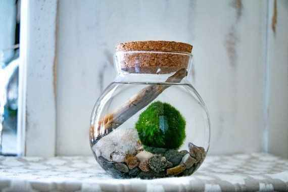 Bomboniere alternative: Marimo!!!!! - 3