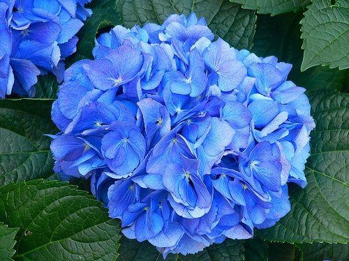 Bouquet da sposa quali fiori userete pagina 3 - Ortensia blu ...