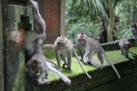 scimmie Bali Ubud