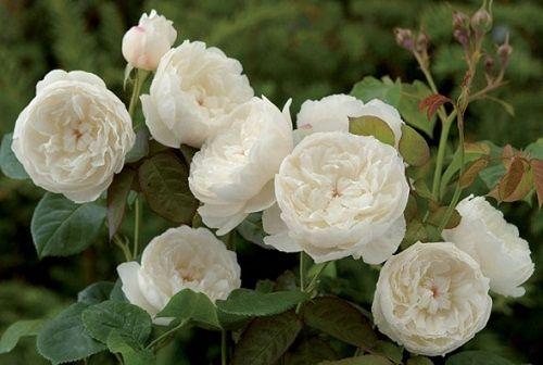 Bouquet di rose inglesi per sposine estive! - 2