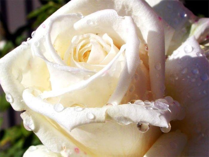 rosa panna