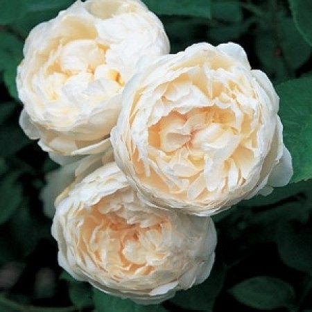 Rose inglesi anzich peonie organizzazione for Rosa inglese