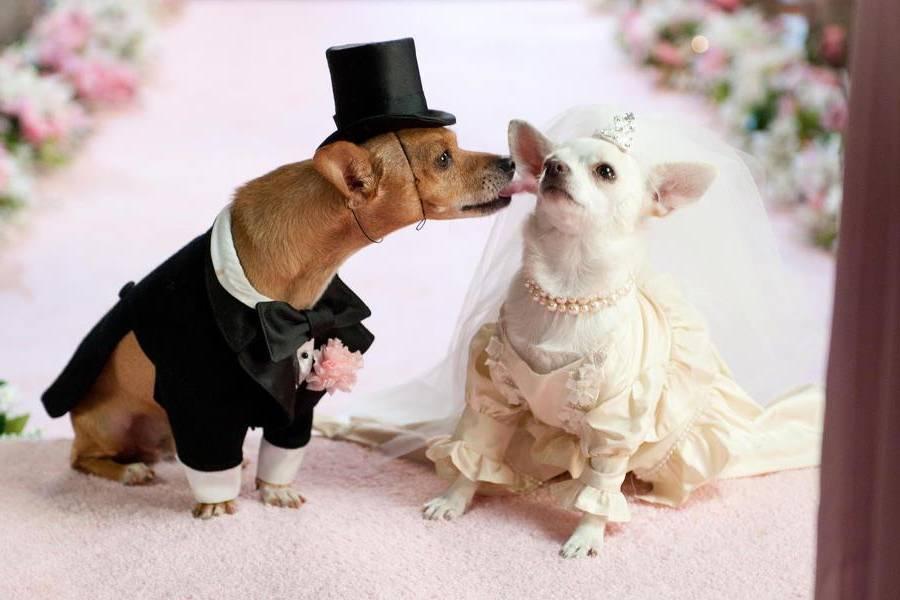 Dog wedding sitter